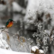 Naturfotografie, Eisvogel