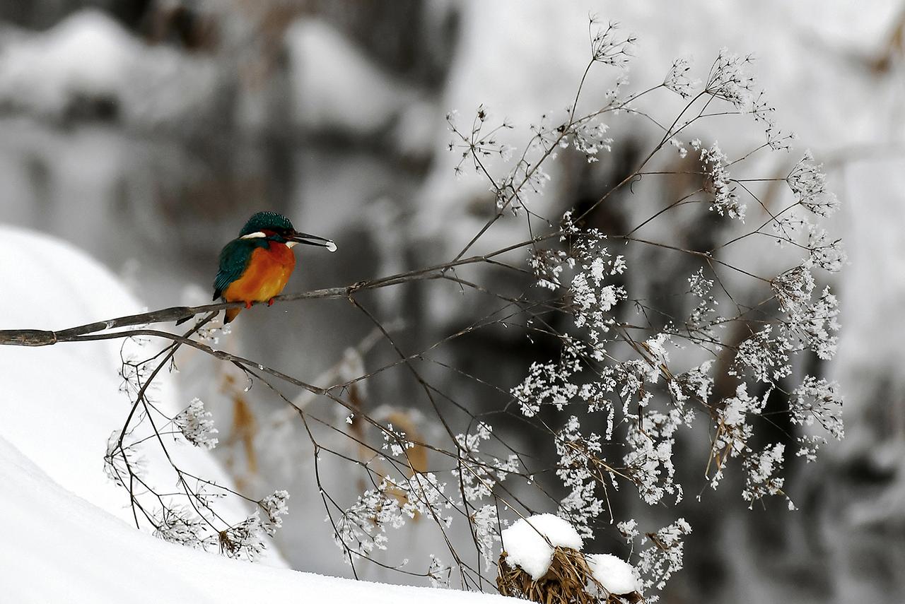 Naturfotografie Eisvogel